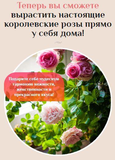 комнатная роза в домашних условиях